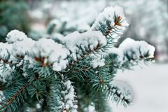 Winter spruce branch under white snow. Winter branch blue spruce under white fluffy snow festive mood royalty free stock image