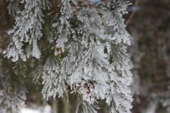 Winter spruce. Christmas tree is green royalty free stock image