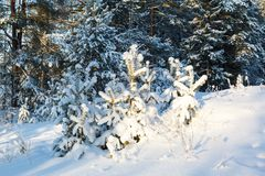 Winter spruce forest Royalty Free Stock Photos