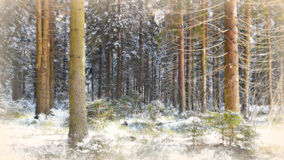Winter spruce forest. The trunks of old firs in the foreground, stretching into the distance behind a thick spruce forest in winter Stock Photography