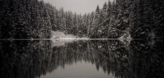 Winter Spruce Reflection. Snow covered spruce trees reflect on a freshly thawed pond Royalty Free Stock Photo