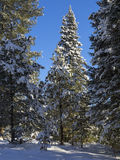 Winter spruce Royalty Free Stock Photos
