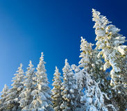 Winter spruce tops (Christmas background) Royalty Free Stock Photos
