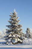 Winter Spruce tree Stock Photo