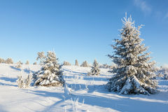 Winter Spruce tree Stock Image