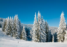 Winter spruce trees Stock Images