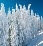Winter spruce trees Royalty Free Stock Image