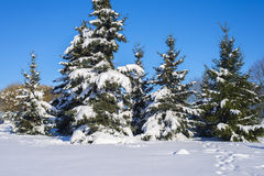 Winter spruces. Stock Images