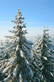 Winter spruces in mountain Stock Images