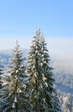 Winter spruces in mountain Royalty Free Stock Photography