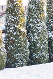Winter spruces on park covered by snow. Royalty Free Stock Photos