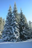 Winter spruces Royalty Free Stock Images