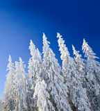 Winter spruces tops Royalty Free Stock Photos