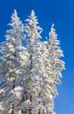 Winter spruces tops and snowfall on sky background Stock Photo