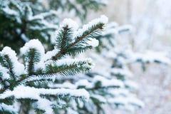 Winter with spruice tree Royalty Free Stock Photos