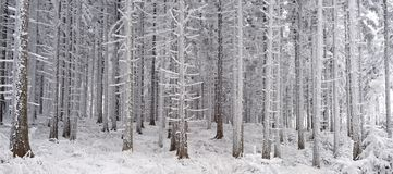 Winter Spuce Forest Stock Photo