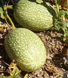 The winter squash closeup. In the field royalty free stock photography