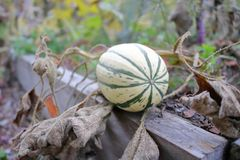Winter Squash in Garden. Low angle view of a Winter Squash in a garden during the Fall season stock images