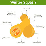 Winter squash nutrient of facts and health benefits, vector Stock Photography