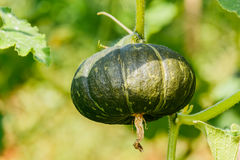 Winter squash, or Pumpkin on its tree. Stock Images