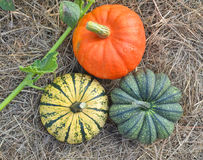 Winter squashes and pumpkins in garden Stock Photography