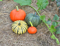 Winter squashes and pumpkins harvested Royalty Free Stock Photography