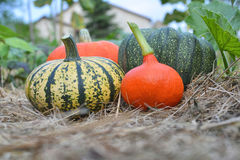 Winter squashes and pumpkins harvested Stock Photography