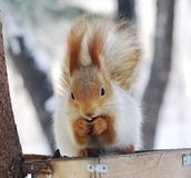Winter  squirrel Stock Photos