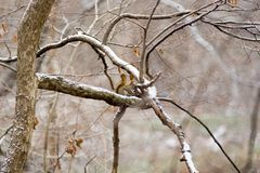 Winter squirrel. Squirrel eating on a branch Stock Photos