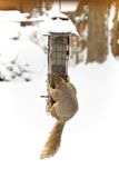 Winter Squirrel Stock Photography