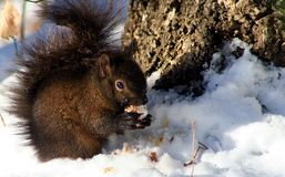 Winter Squirrel. A squirrel eating a nut in the snow Royalty Free Stock Photo