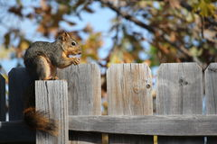 Winter Squirrel Royalty Free Stock Photography