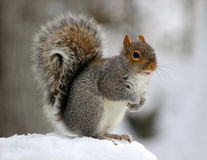 Winter Squirrel. An eastern gray squirrel (Sciurus carolinensis) on a snowy winter day Royalty Free Stock Images
