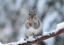 Winter Squirrel With a Nut. A cute gray squirrel in winter sitting on a snowy tree branch eating a nut Royalty Free Stock Images