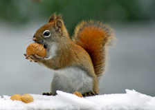 Winter Squirrel Stock Images