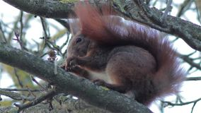 Winter squirrel on a tree stock video