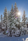 Winter Starburst. Bright Sun Peaking From Side Of Pine Trees Creating A Starburst Royalty Free Stock Images