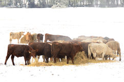 Winter Steers Stock Photos
