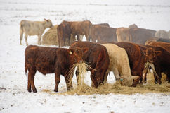 Winter Steers Stock Image