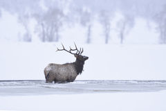 Winter-Stier-Elche Stockbild