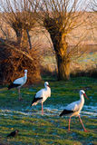 Winter storks Royalty Free Stock Image