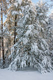 Winter storm in appalachia. Snow and ice covered eastern hemlock, after winter storm in southern appalachia stock image