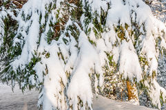Winter storm in appalachia. Snow and ice covered leyland cypress, after winter storm in southern appalachia royalty free stock photography