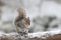 Winter Storm Gray Squirrel stock image