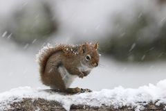 Winter Storm Red Squirrel stock photo