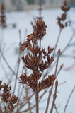 Winter street Bush dried lilac Royalty Free Stock Photography