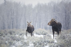 Winter Stroll. A mother and calf moose take a leisurely stroll through a snow flurry in Grand Teton National Park, Wyoming stock image