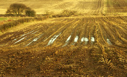 Winter stubble. Undulating winter landscape of wet muddy field and furrows with golden stubble Royalty Free Stock Photo