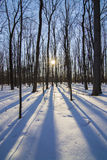 Winter Sugar maple forest Royalty Free Stock Photos