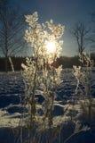 Winter sun. Through frosty plant Royalty Free Stock Photos